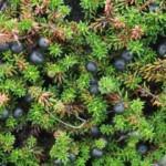 Водяника черная, или шикша, или вороника — Empetrum nigrum