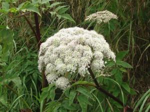 Angelica genuflexa Nutt. ex Torr. & A. Gray (семейство Apiaceae)  Дудник коленчатосогнутый (Дудник коленчатый преломлённый, ...)