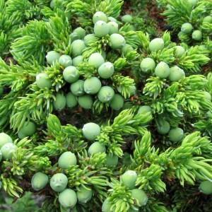 Juniperus sibirica Burgsd. (семейство Cupressaceae)  Можжевельник сибирский