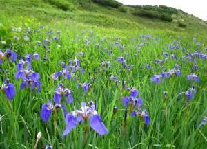 Iris setosa Pall. ex Link (семейство Iridaceae)  Ирис щетинистый (Ирис арктический, ...)