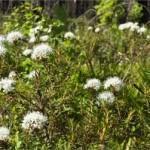 Багульник болотный — Ledum palustre. Народные рецепты