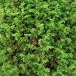 Можжевельник обыкновенный — Juniperus communis