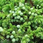 Можжевельник сибирский — Juniperus sibirica burgsd. Народные рецепты