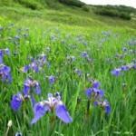 Ирис щетинистый — Iris setosa pall. Народные рецепты