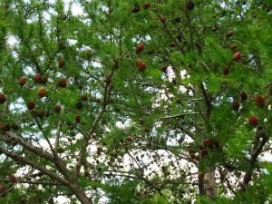 Larix gmelinii (Rupr.) Rupr. (семейство Pinaceae)  Лиственица даурская (Лиственица амурская, ...)