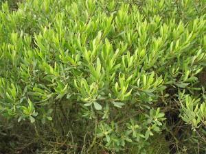 Myrica gale L. (семейство Myricaceae)  Восковник болотный (Восковник обыкновенный, ...)