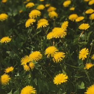 Taraxacum officinale F.H. Wigg. (семейство Asteraceae)  Одуванчик лекарственный (Одуванчик аптечный, ...)