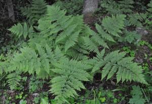 Dryopteris expansa (C. Presl) Fraser-Jenk. & Jermy (семейство Dryopteridaceae)  Щитовник широкий (Щитовник захватывающий, ...)