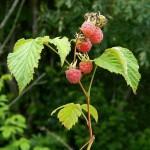 Малина обыкновенная — Rubus idaeus