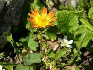 Taraxacum ceratophorum (Ledeb.) DC. (семейство Asteraceae)  Одуванчик рогоносный (Одуванчик бесканальцевый, ...)