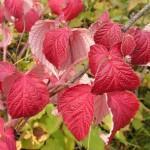 Малина сахалинская — Rubus sachalinensis lev. Народные рецепты.