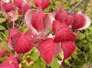 Rubus matsumuranus H. Lev. & Vaniot (семейство Rosaceae)  Малина Мацумуры (Малина матсумуранская, ...)