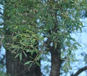 Chosenia arbutifolia (Pall.) A.K. Skvortsov (семейство Salicaceae)  Кореянка земляничниколистная (Ива земляничниколистная, ...)