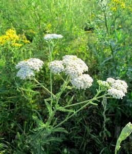 Achillea millefolium L. (семейство Asteraceae)  Тысячелистник обыкновенный