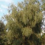 Ивы — Salix SP.