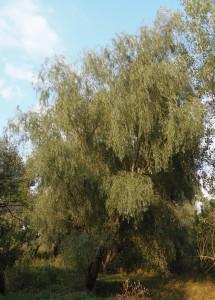 Salix alba L. (семейство Salicaceae)  Ива белая (Ветла, ...)