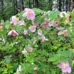 Шиповник, или Роза иглистая — Rosa acicularis