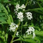 Подмаренник северный — Galium boreale L. Народные рецепты