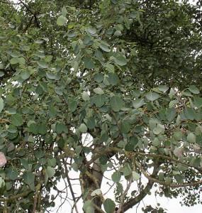 Populus tremula L. (семейство Salicaceae)  Осина обыкновенная (Тополь дрожащий)