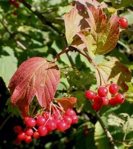 Viburnum edule (Michx.) Raf. (семейство Viburnaceae)  Калина съедобная