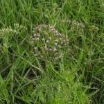 Тысячелистник обыкновенный — Achillea millefolium
