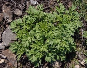 Artemisia vulgaris L. (семейство Asteraceae)  Полынь обыкновенная (Чернобыльник)
