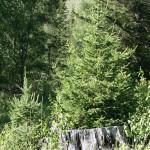 Ель Сибирская —Picea Obovata Ledeb. Народные рецепты