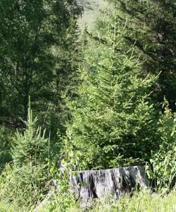 Picea obovata Ledeb. (семейство Pinaceae)  Ель сибирская (Ель печорская)