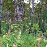 Борщевик шерстистый — Heracleum lanatum