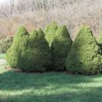 Ель — Picea SP.