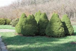 Picea glauca (Moench) Voss (семейство Pinaceae)  Ель канадская (Ель сизая, ...)