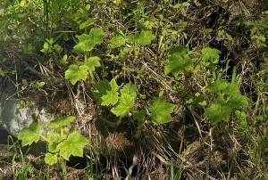 Oplopanax elatus (Nakai) Nakai (семейство Araliaceae)  Заманиха высокая (Эхинопанакс высокий)