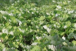 Petasites frigidus (L.) Fr. (семейство Asteraceae)  Белокопытник холодный (Белокопытник северный, ...)